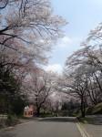 こどもの国 桜02