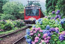 箱根登山 紫陽花